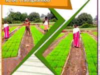 Glimpse of a paddy nursery raised by our dealer in Bihar Sharif